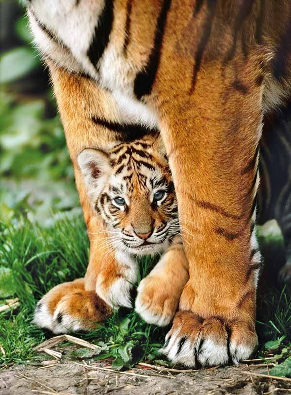Bengal Tiger Cub and Mother - 500pc jigsaw puzzle
