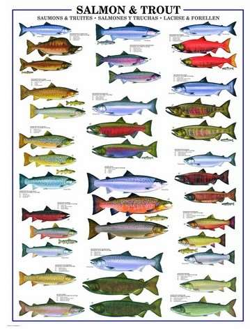 Salmon and Trout - 1000pc jigsaw puzzle