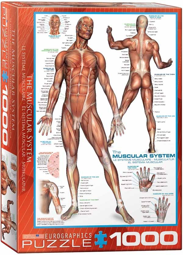 The Muscular System - 1000pc jigsaw puzzle