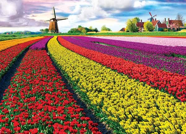 Tulip Fields - 1000pc jigsaw puzzle