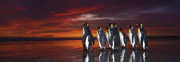 King Penguins - Panoramic - 1000pc jigsaw puzzle