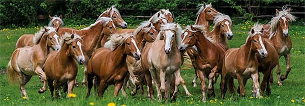 Haflinger Horses - Panoramic - 1000pc jigsaw puzzle