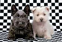 black and white terriers