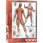 The Muscular System - 1000pc