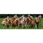 Haflinger Horses - Panoramic - 1000pc