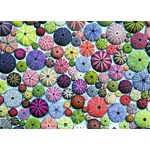 Sea Urchins - 1000pc